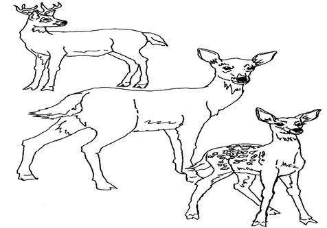 476x333 Realistic Whitetail Deer Coloring Page Image Clipart Images
