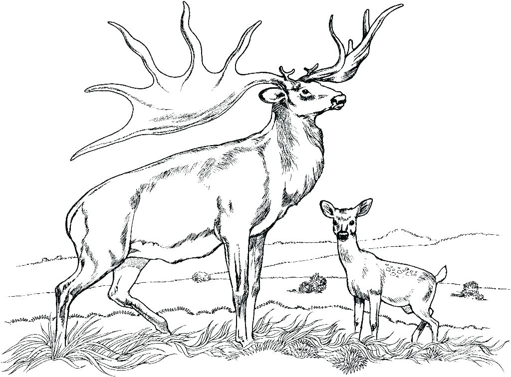 1024x756 White Tailed Deer Coloring Page Coloring Pages Deer Coloring Page