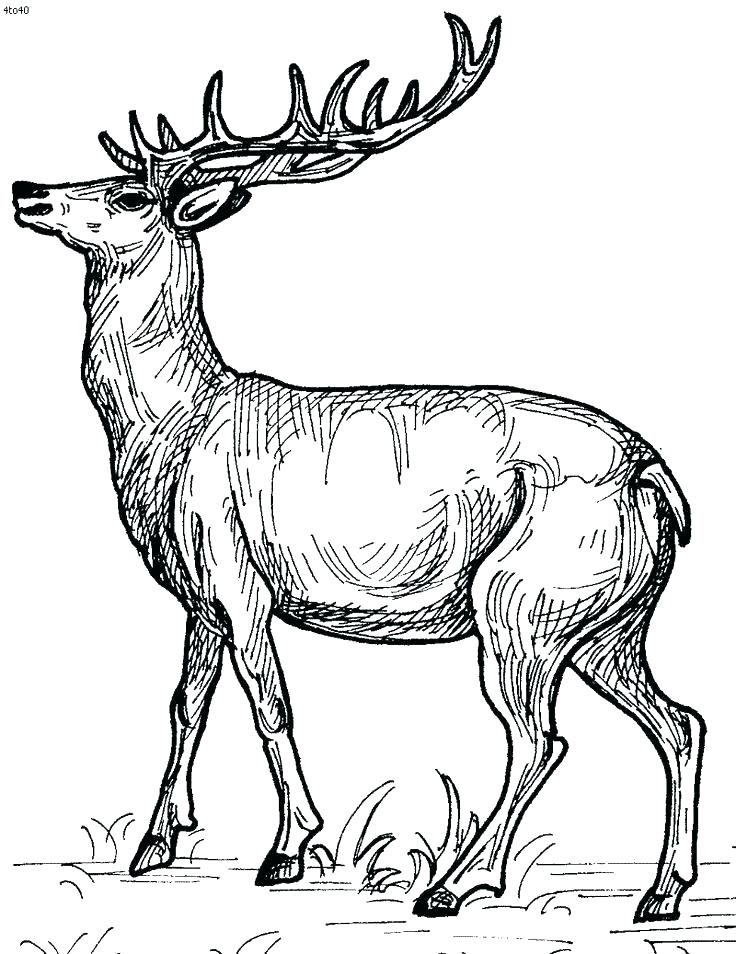 736x954 Whitetail Deer Coloring Pages Free Deer Coloring Pages Deer