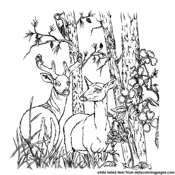 600x600 Free Animal Coloring Pages For Adults Texas White Tailed Deer