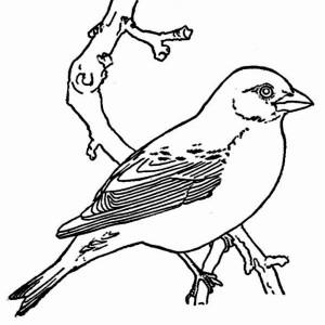 300x300 Robin Bird Coloring Page Color Luna