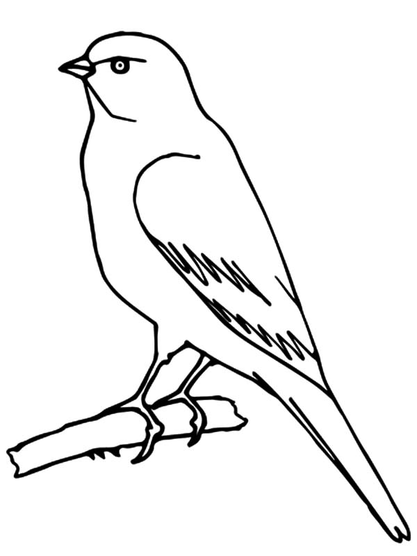 600x799 Wild Canary Bird Coloring Pages Best Place To Color