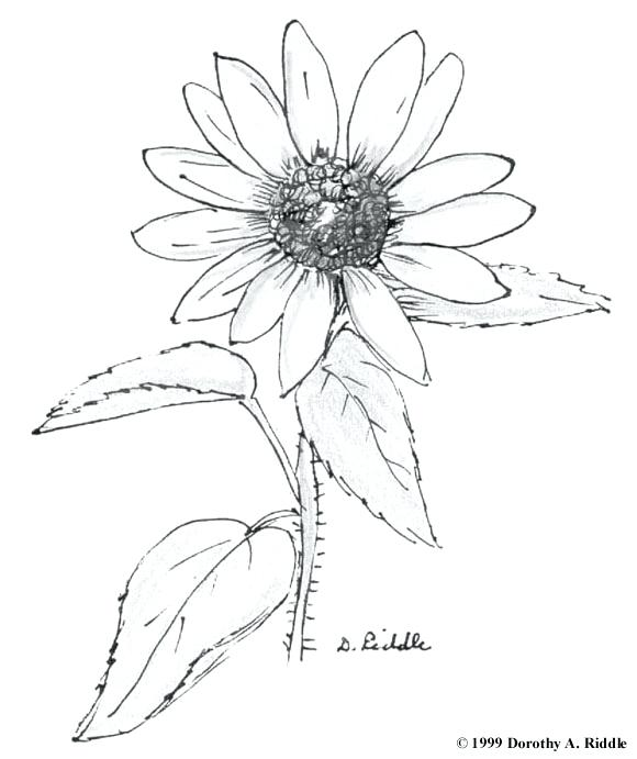 580x691 Wildflower Coloring Pages Celebrating Wildflowers Coloring Book