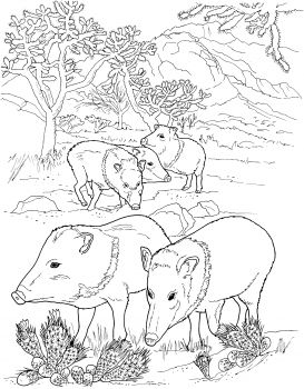 273x350 Javelina Peccaries Wild Pigs Animal Colouring Pages