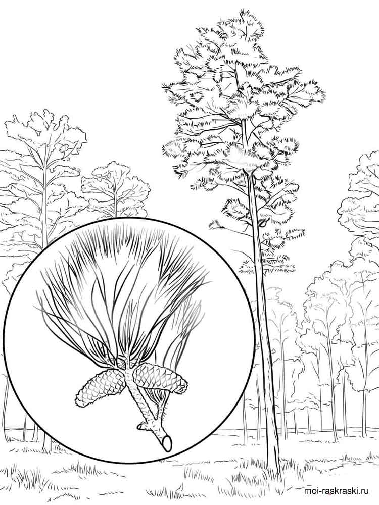 750x1000 Pine Tree Coloring Pages For Kids Free Printable Pine Tree