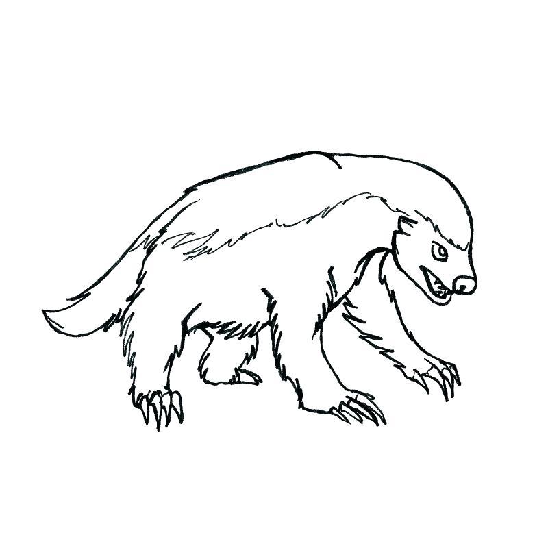 800x800 Badger Coloring Pages Badger Coloring Pages Badger Drawn Free