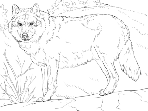 480x360 Realistic Wolf Coloring Pages Grey Wolf Coloring Page Free