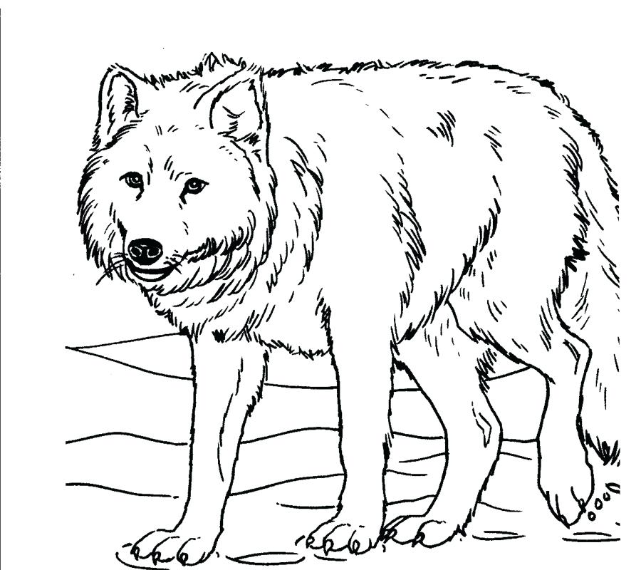 900x800 Perfect Design Wolf Coloring Page Look Realistic Pages Free
