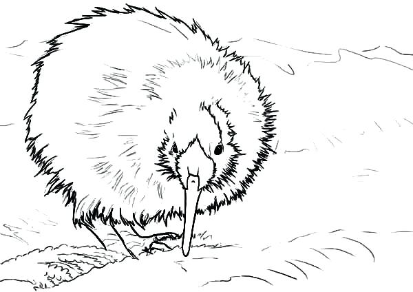 600x424 Wombat Coloring Page Attractive Design Ideas Kiwi Animal Coloring