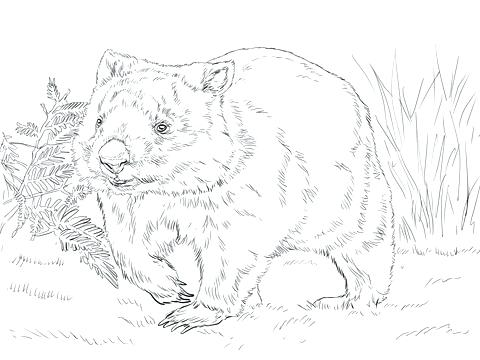 480x360 Wombat Coloring Page Coloring Pages Of Guinea Pigs Download Large