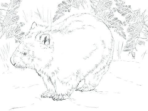 480x360 Wombat Coloring Page Wombat Coloring Page Wombat From Coloring