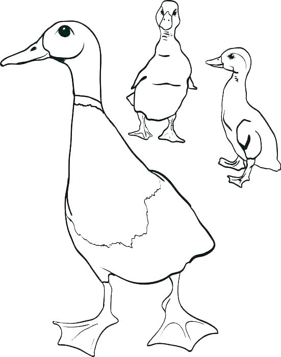 551x700 Duck Color Page Duckling Wood Duck Duckling Coloring Page Wood