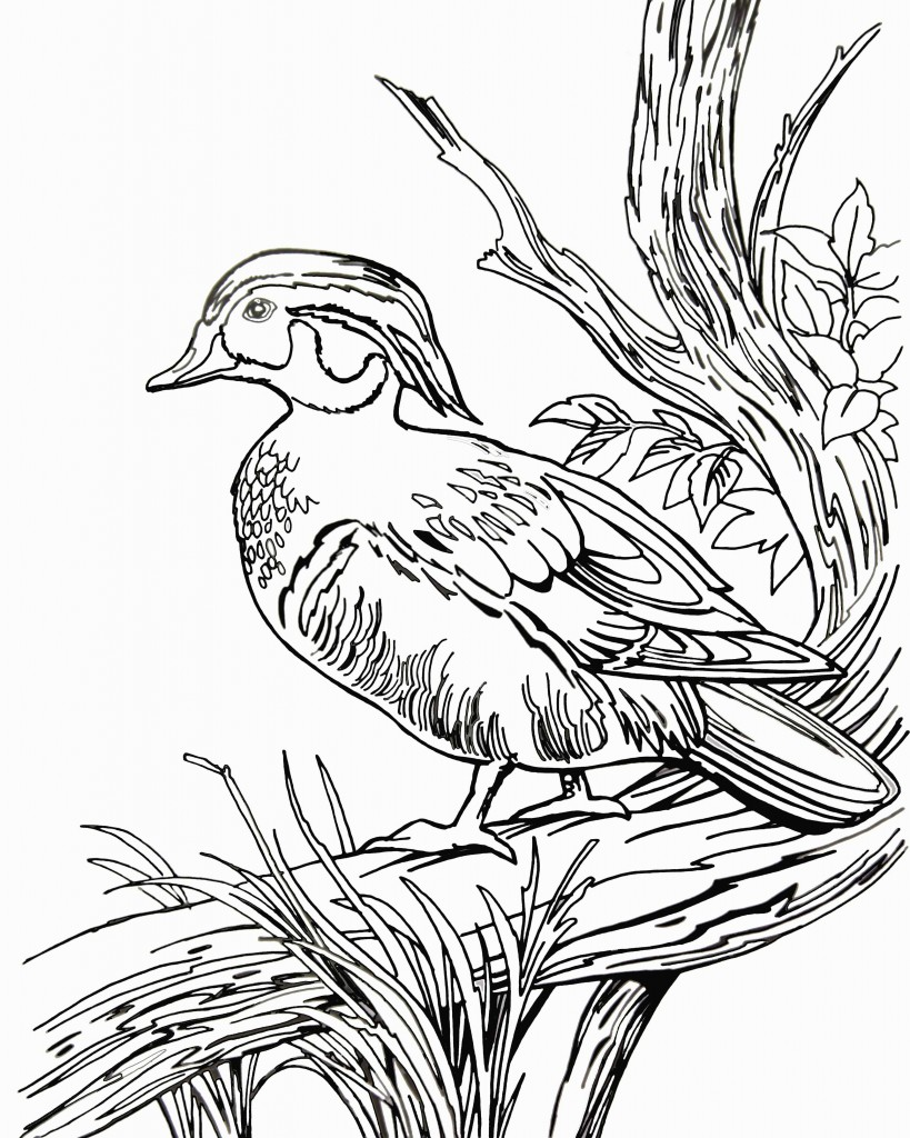 819x1024 Wood Duck Colouring Page The Common Room Endear Coloring
