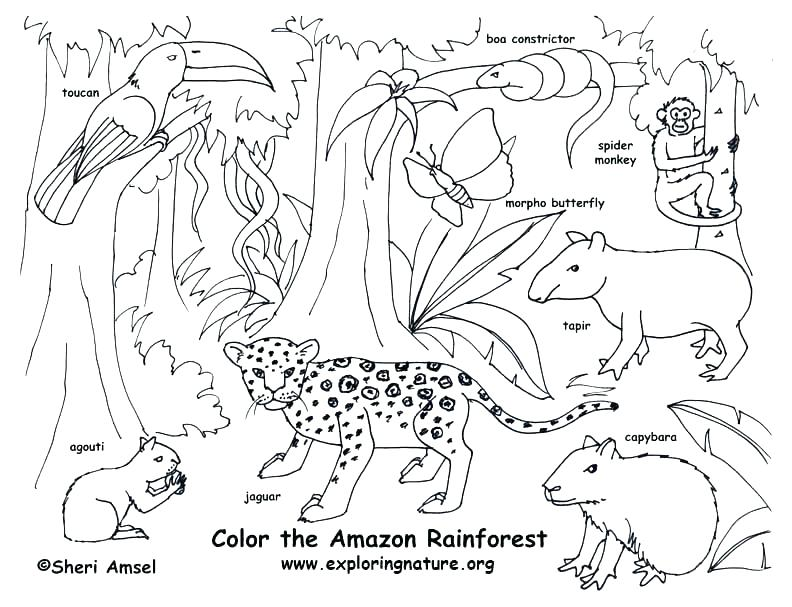 792x607 Printable Images Of Rainforest Animals Forest Animals Coloring