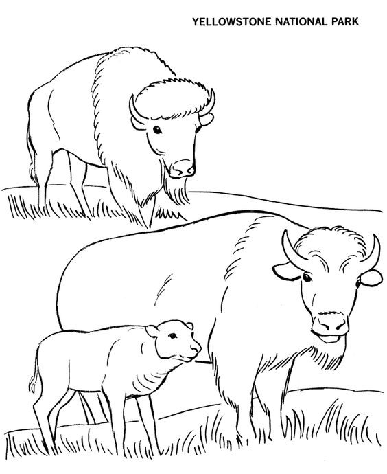 564x690 Bison Coloring Page Llamas And Cactus