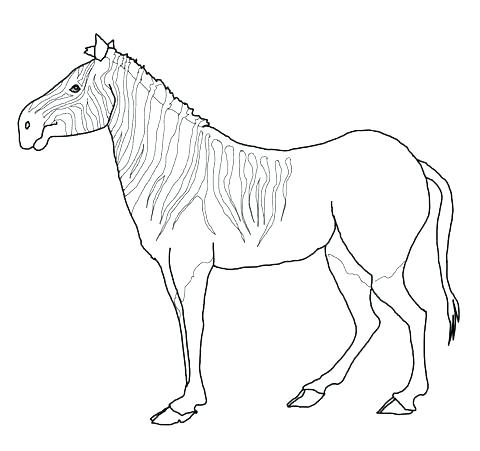 480x451 Baby Zebra Coloring Pages Baby Zebra Coloring Pages Baby Pictures