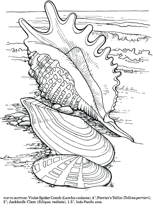 650x887 Sea Shell Coloring Page A Lovely Zigzag Scallop Seashell Drawing