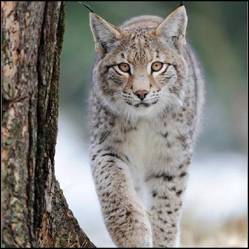 Best Bobcat Wallpaper Apk