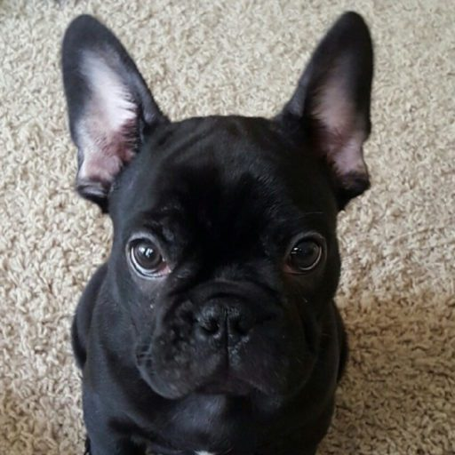 Frenchie Tips Do's Don'ts