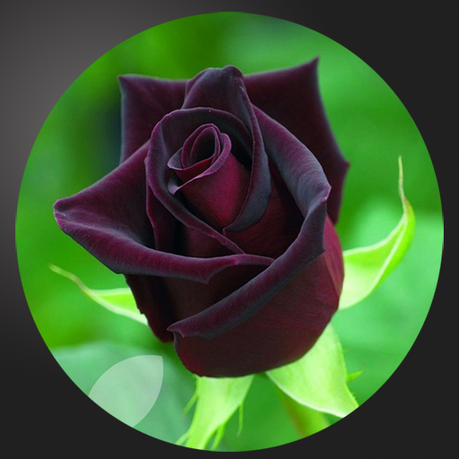 Most Beautiful Black Roses Appstore For Android