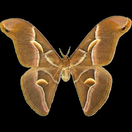 Half Moon Silk Moth