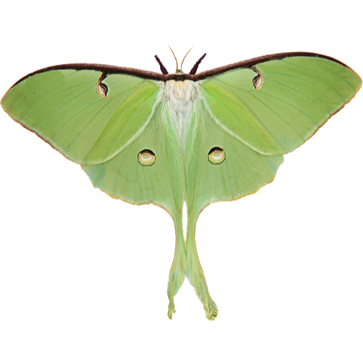 Luna Moth Icon