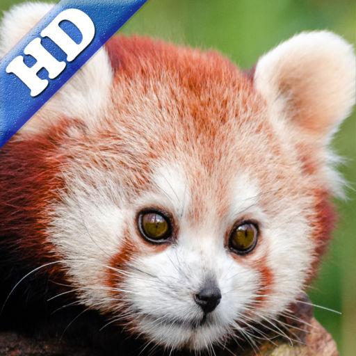 Red Panda Puzzles Jigsaws Games With Wild Animals In The Zoo Hd