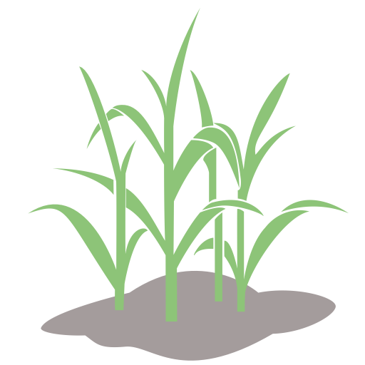 Pioneer Wheat Growth Process, Wheat, Wheat Crop Icon With Png