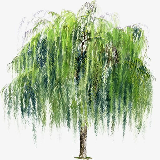 Willow Tree Layers, Willow Trees, Green Leafed Tree Png Clipart