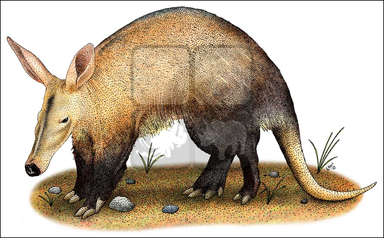 1234x766 Aardvark (Orycteropus Afer) Line Art And Full Color Illustrations