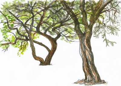 400x284 A Sketch In Time Acacia Trees