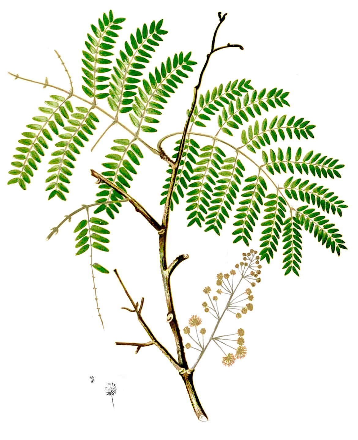 Acacia Tree Drawing at GetDrawings.com | Free for personal use ...