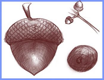 350x269 How To Draw How To Draw An Acorn, Oak Nut