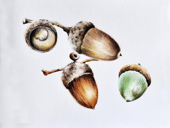 570x430 Original Colored Pencil Drawing Acorn Botanical By Artcornershop