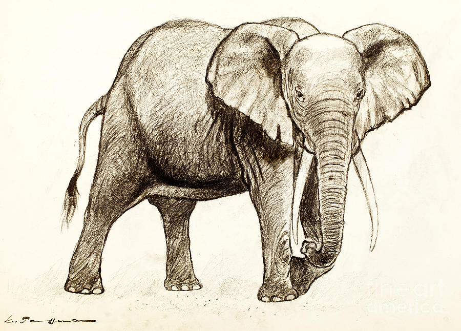 900x646 African Elephant Drawing By Kurt Tessmann