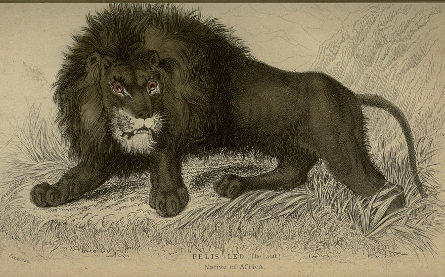 900x561 African Lion Drawing By Philip Ralley