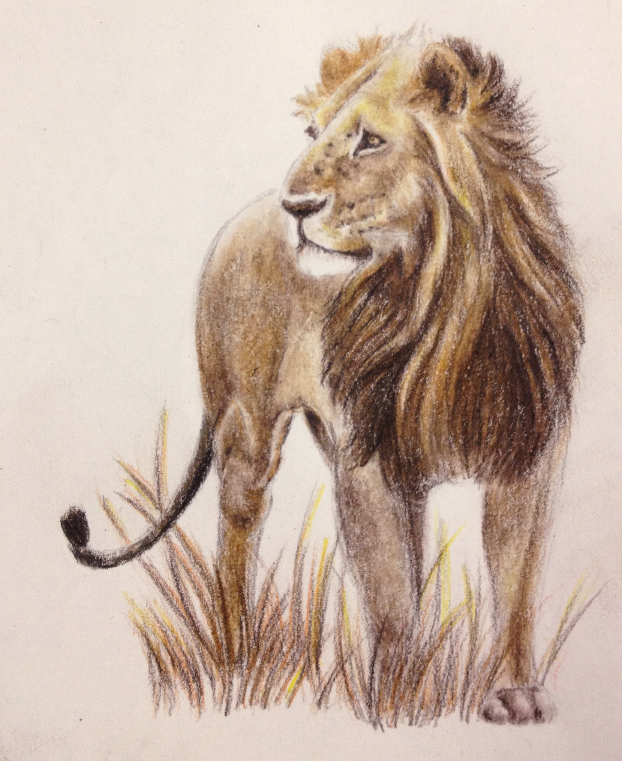 2073x2537 African Lion In Colored Pencil. Art