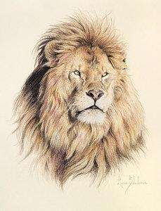 229x300 Male African Lion Drawings Fine Art America