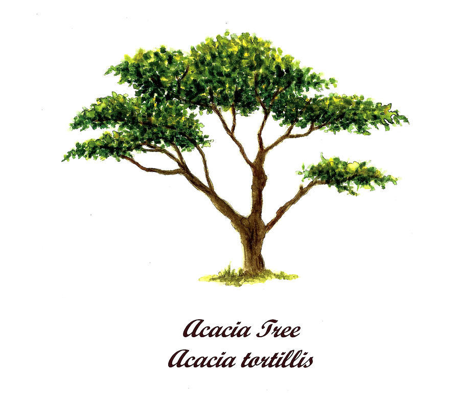 900x772 Drawing Of Acacia Tree