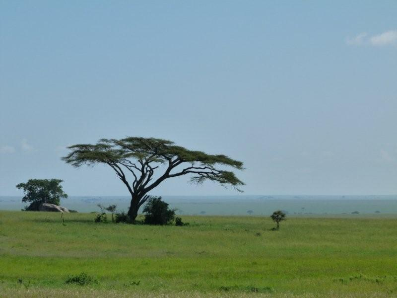 800x600 Safari Ecology Why Do Savanna Trees Have Flat Tops