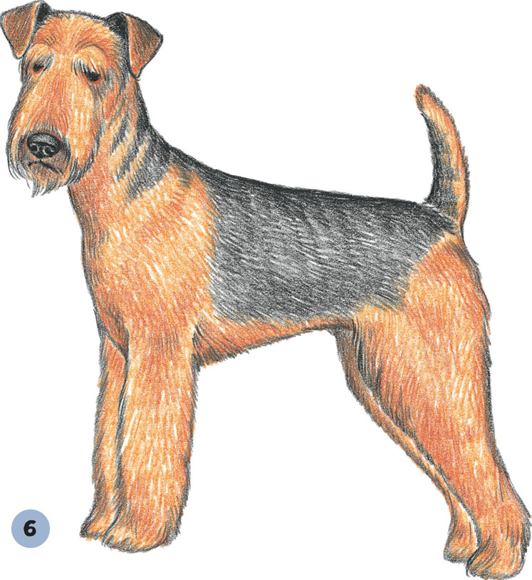 747x813 Airedale Terrier