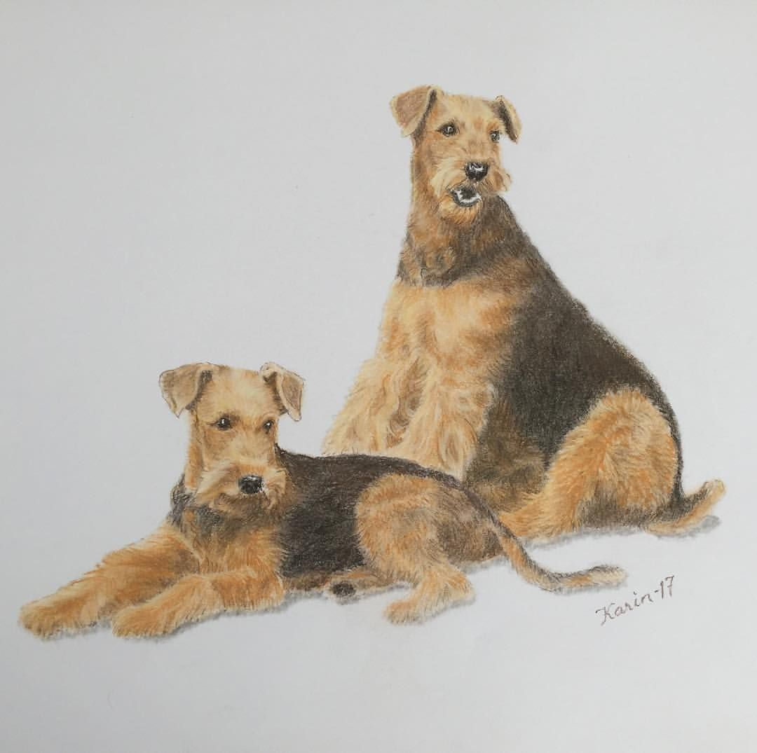 1080x1075 Airedale Terrier Art. Pastel Drawing By Karin Marjamaa