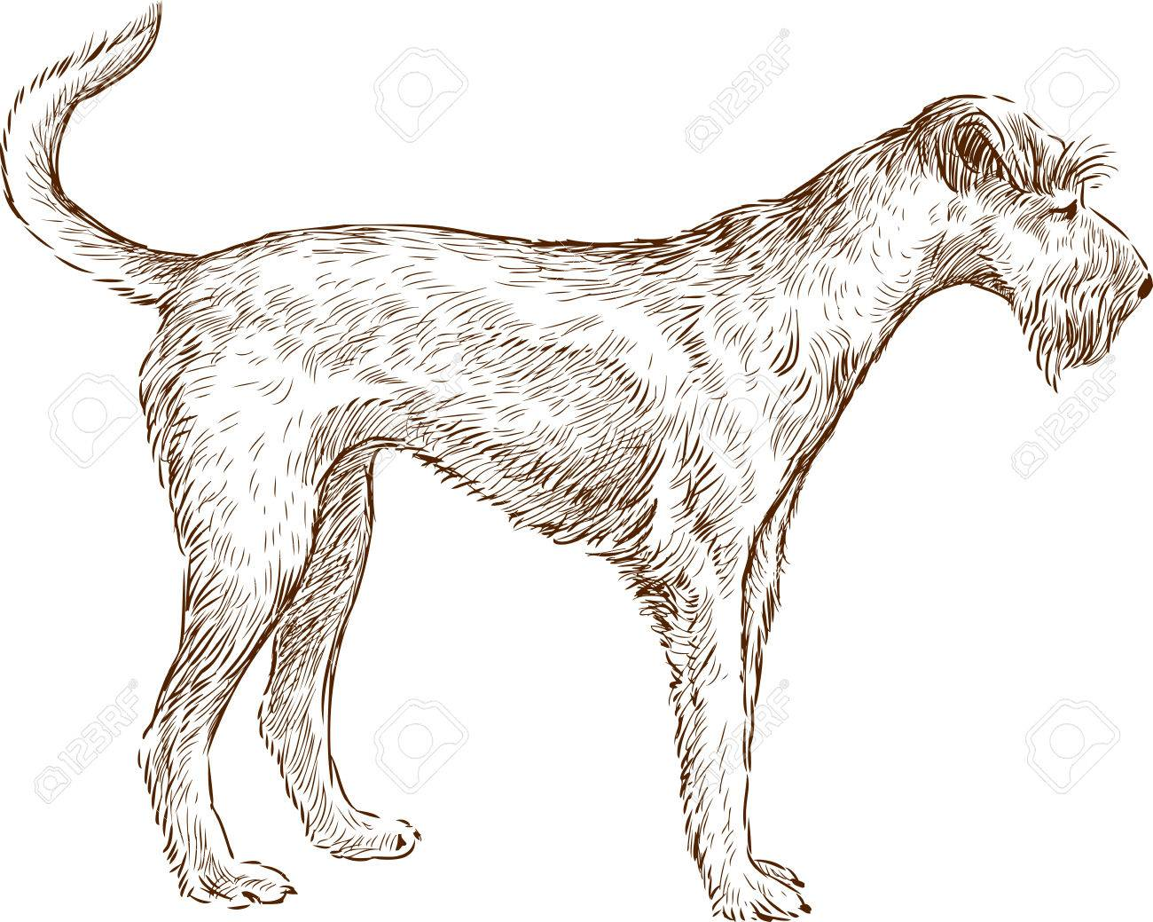 1300x1039 The Vector Drawing Of An Airedale Terrier. Royalty Free Cliparts