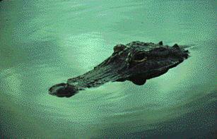 307x197 Crocodilian Species