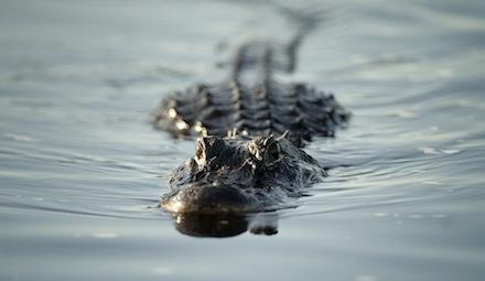 440x255 Us Catholics Free To Eat Alligator This Lent Catholicherald.co.uk