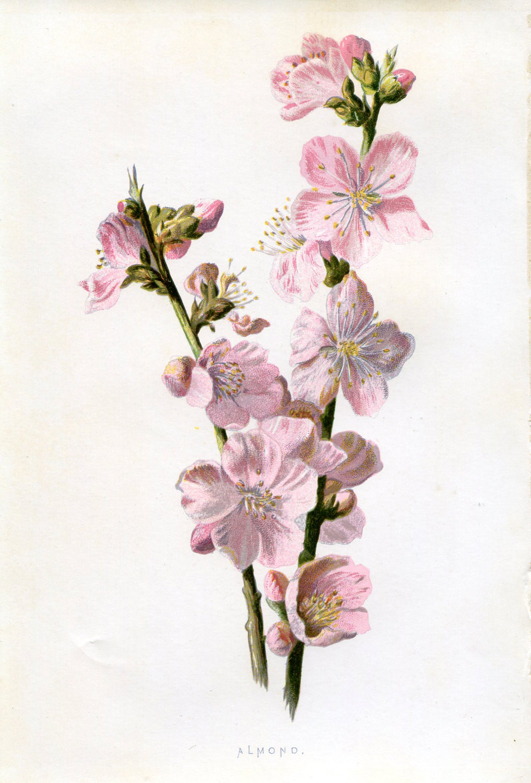 1017x1500 Almond Art Botanical Drawing Almonds, Botanical