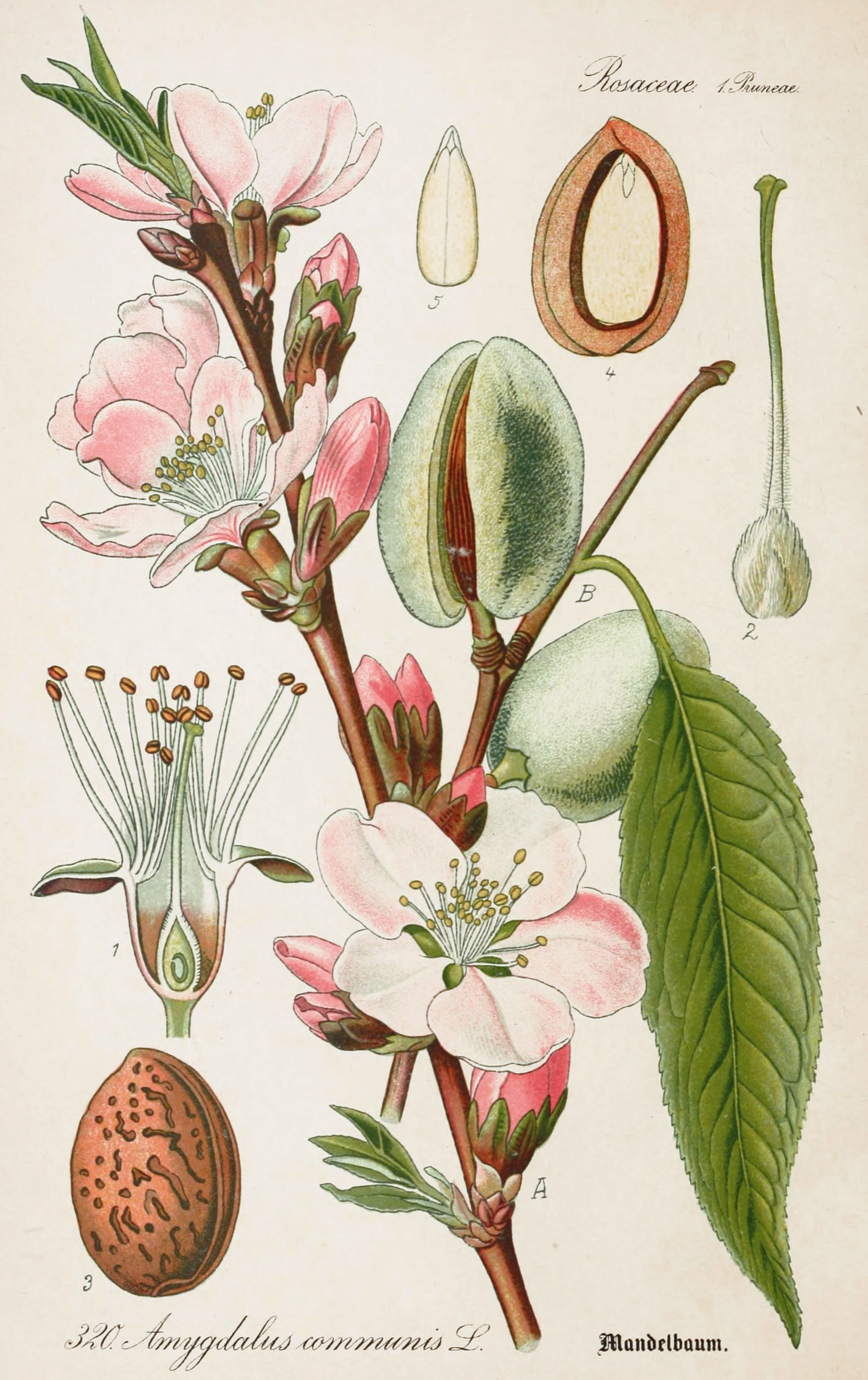 2500x3972 Almond Antique Botanical Illustration From Flora Of Germany Circa