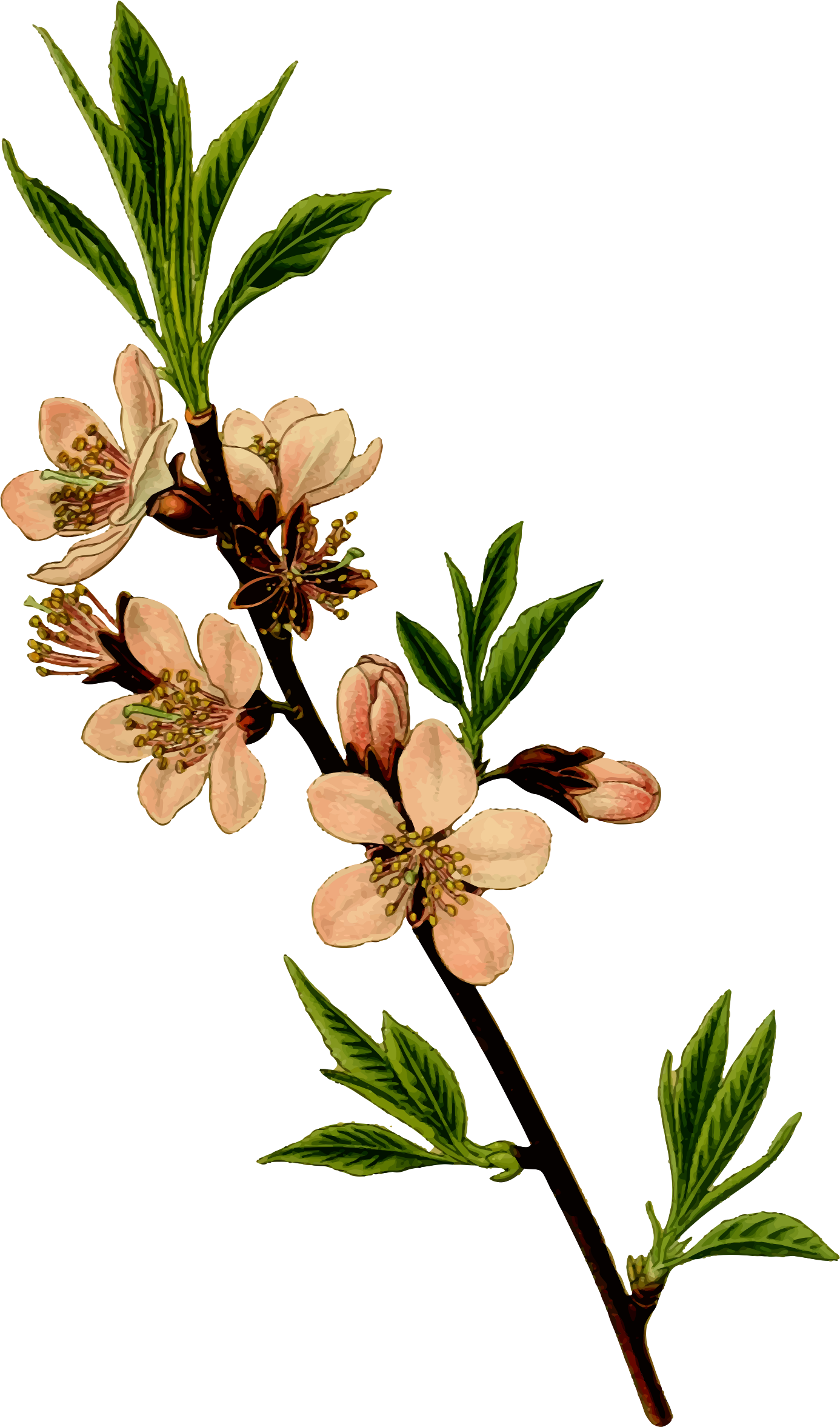 1386x2354 Almond Tree By @firkin, From A Drawing