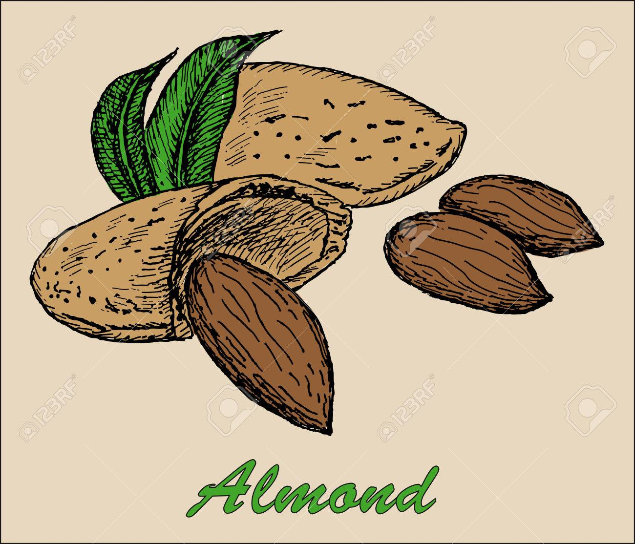 1300x1114 Nut Almond. Hand Drawing Set Of Vector Sketches Royalty Free