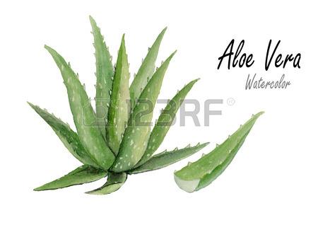 450x318 1,980 Aloe Vera Stock Vector Illustration And Royalty Free Aloe